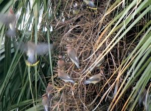 Cedar Waxwings - photo by Julie Dodd