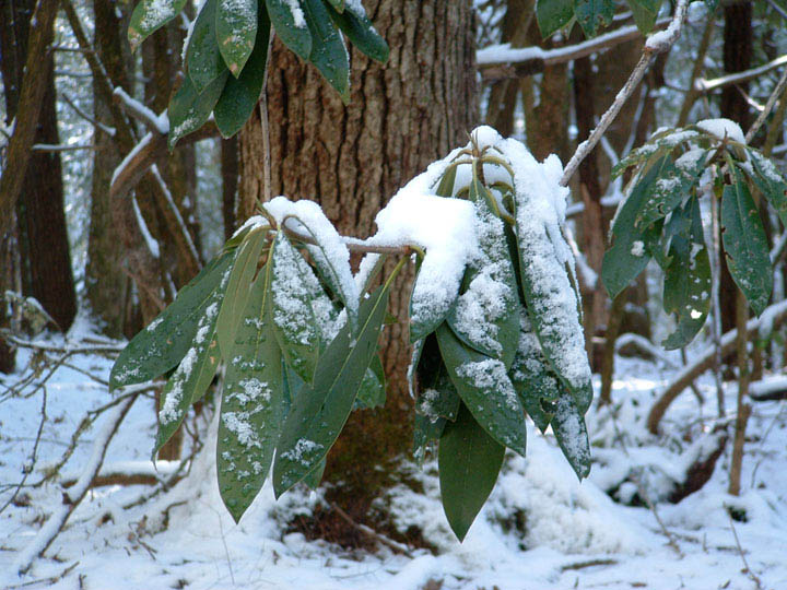 Rhododendron in snow, Cades Cove, Great Smoky Mountains National Park