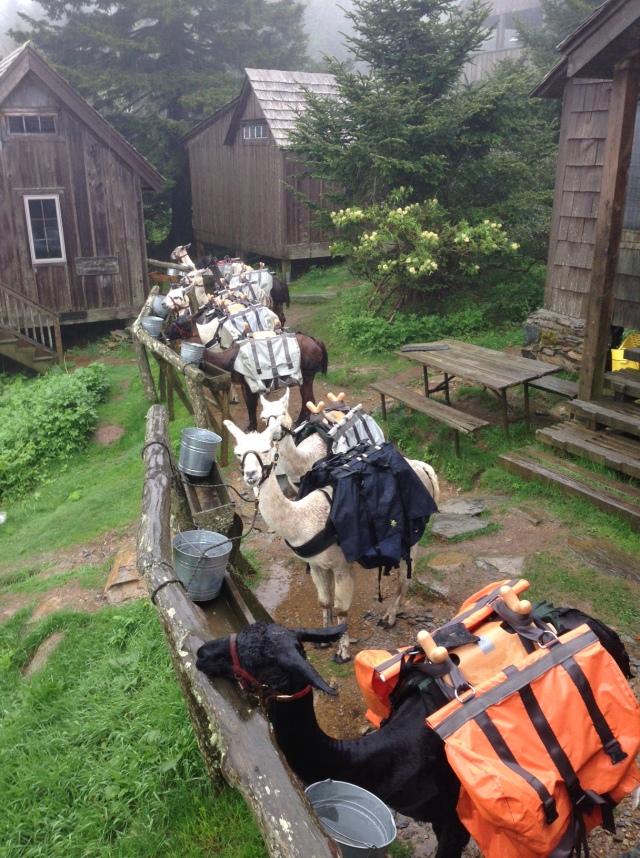 Llamas as LeConte Lodge