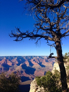 tree on South Rim of Grand Canyon - photo by Julie Dodd