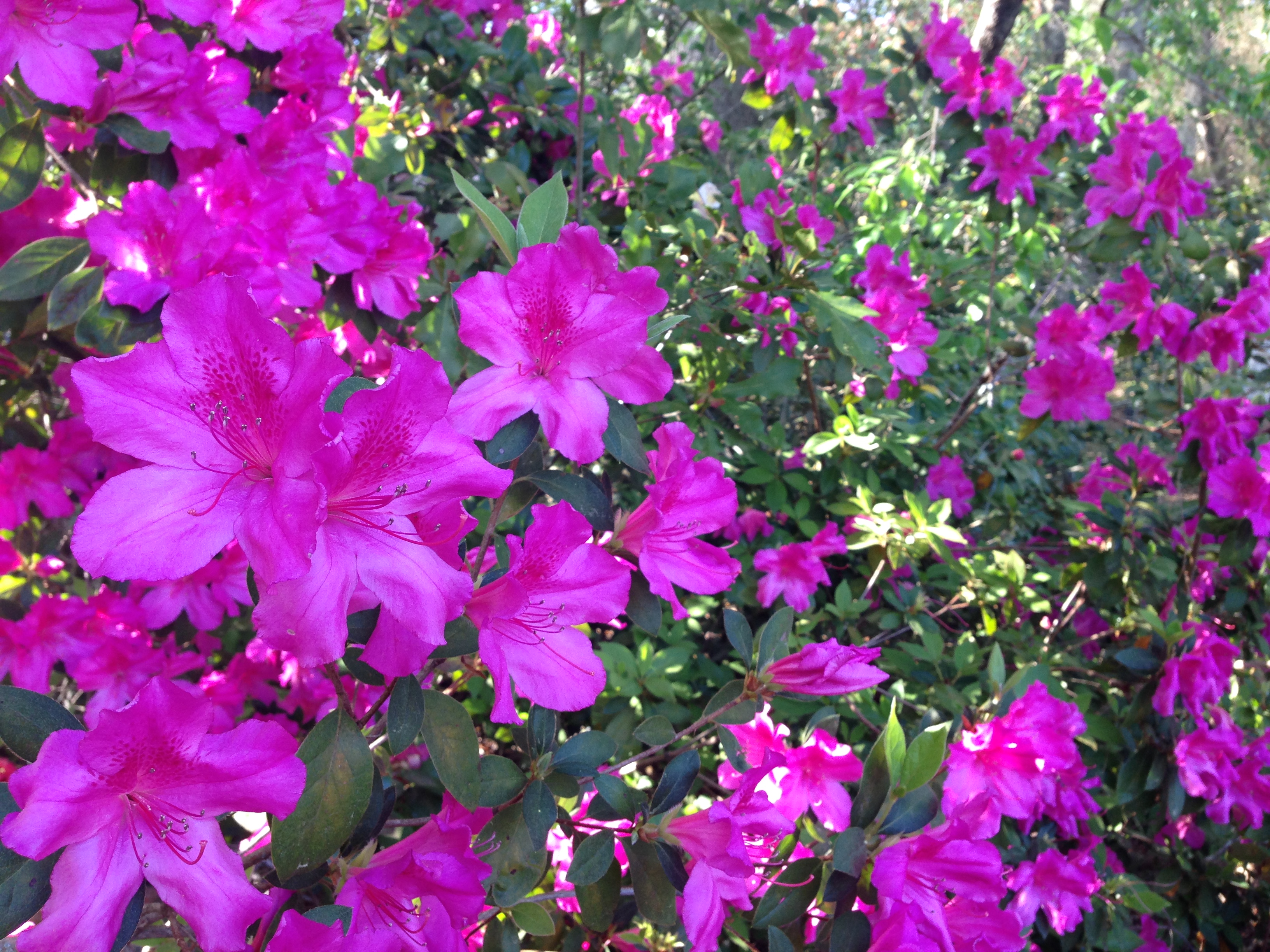 dark pink azaleas by Julie Dodd