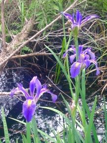 iris-hawthorne-trail-julie-dodd