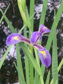 wild-iris-julie-dodd