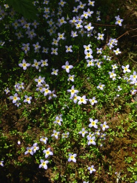 Bluets - photo by Julie Dodd