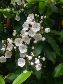 Mountain laurel - photo by Julie Dodd