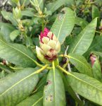 rhododendron bud - photo by Julie Dodd