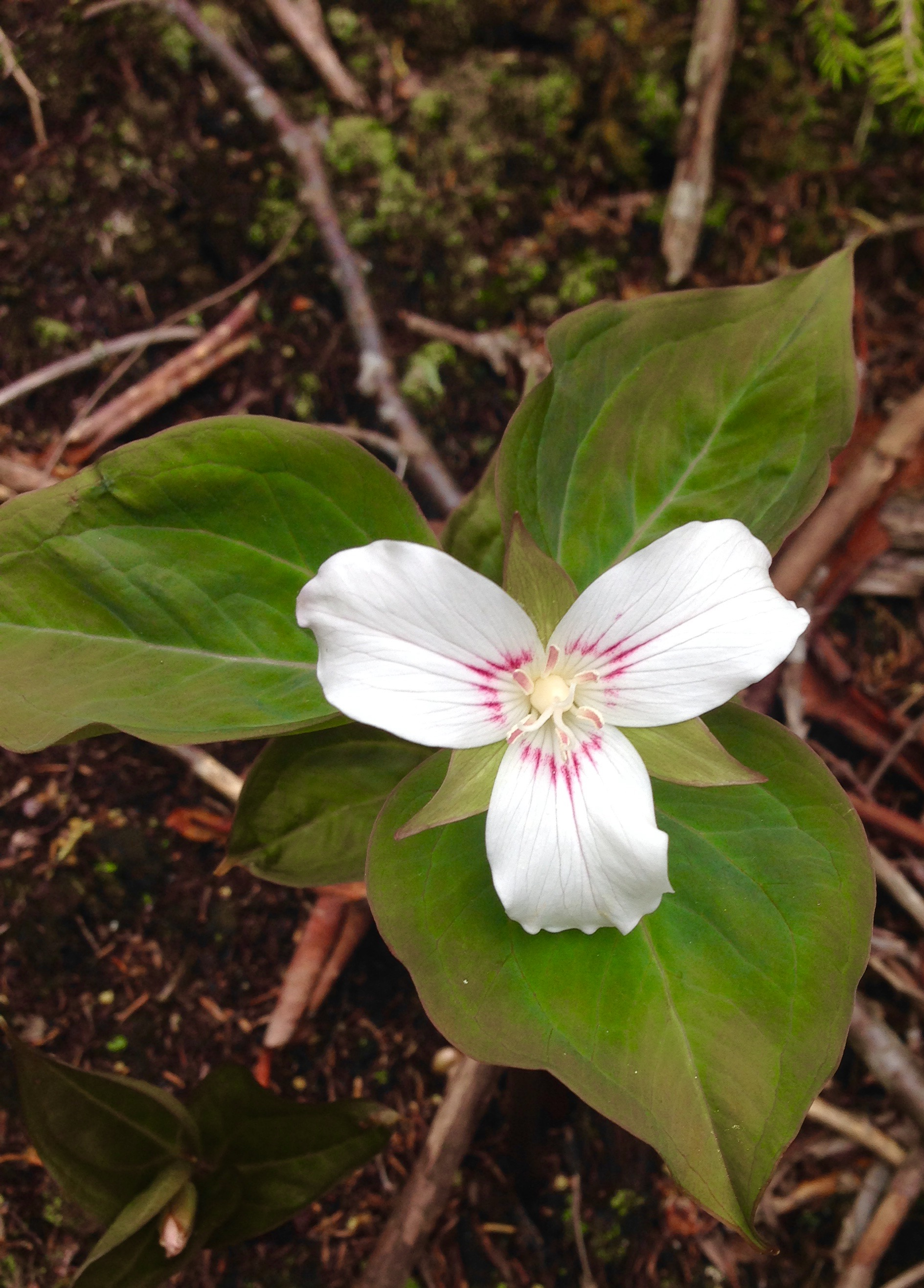 painted trillium - photo by Julie Dodd