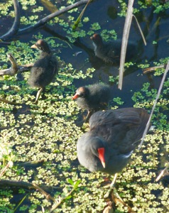 common moorhen and chicks