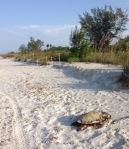 dead sea turtle on beach at Sanibel Island