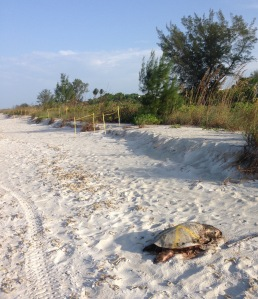 dead sea turtle on beach at Sanibel Island