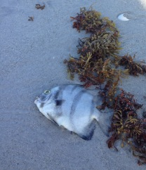 fish kill at Sanibel Island
