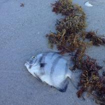 fish kill at Sanibel Island