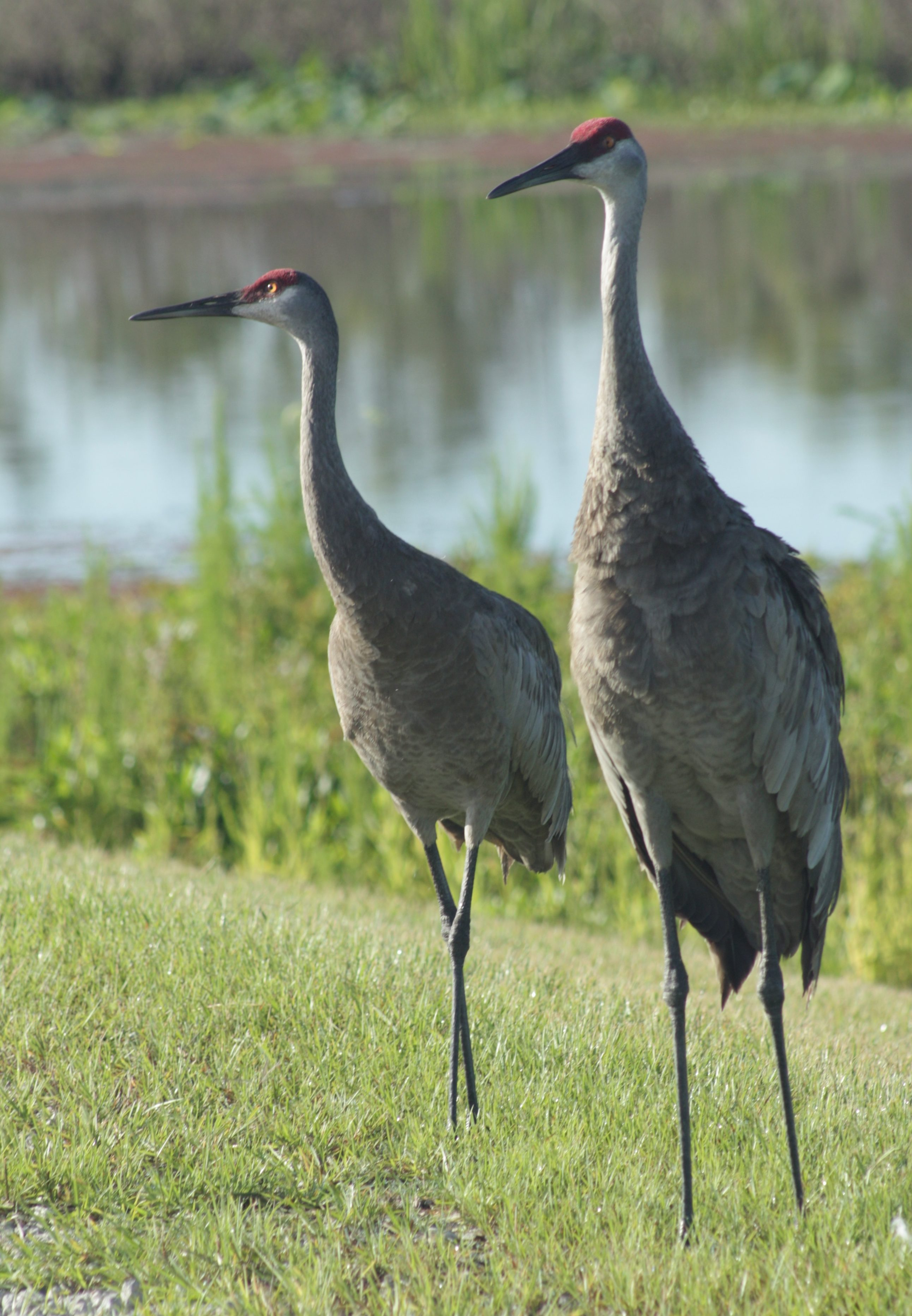 sandhill cranes - photo by Julie Dodd