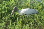 Wood stork - photo by Julie Dodd
