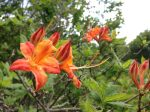 flame azalea photo by Julie Dodd