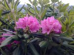 catabaw rhododendron photo by Julie Dodd