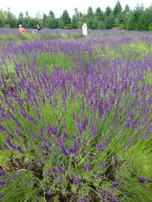 lavender fields at Mountainside Lavender Farm