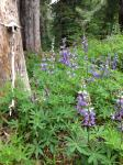 Lupine along Zigzag Trail