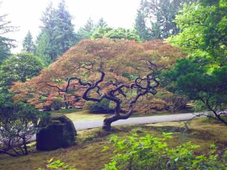 Japanese Maple in Portland Japanese Garden - photo by Julie Dodd