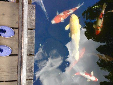 koa in Portland Japanese Garden - photo by Julie Dodd