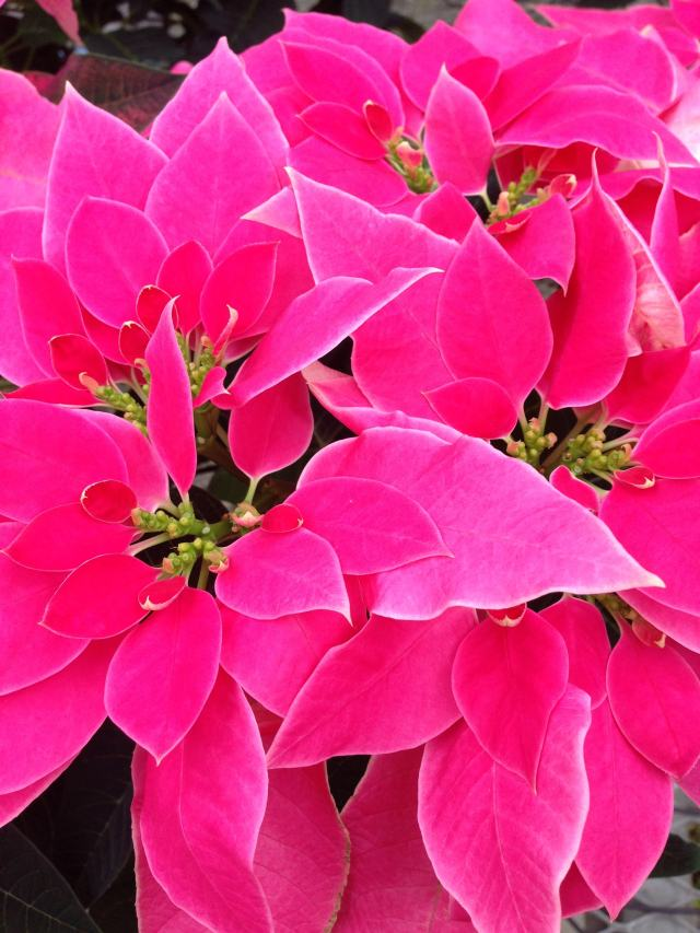 pink poinsettia - photo by Julie Dodd