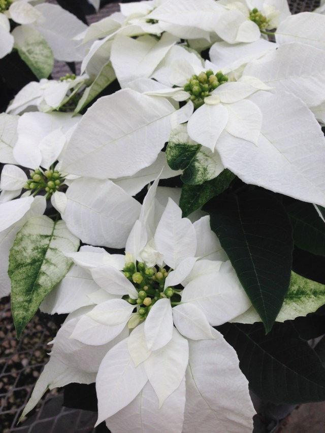 white poinsettias - photo by Julie Dodd