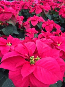red poinsettias - photo by Julie Dodd