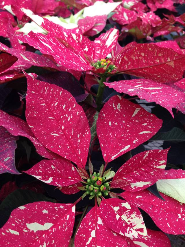 poinsettia - photo by Julie Dodd