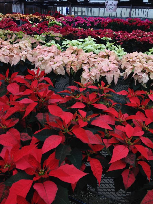poinsettias - photo by Julie Dodd