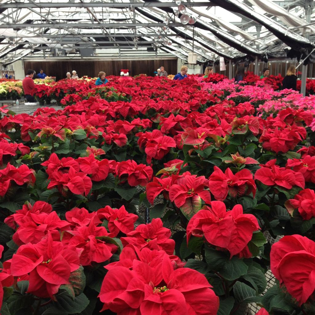 poinsettias in greenhouse - photo by Julie Dodd