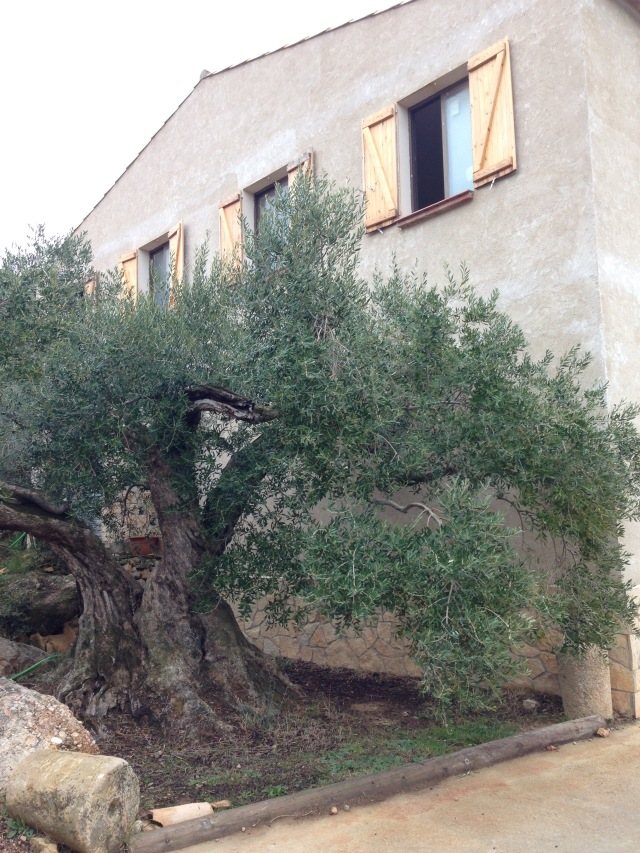 1,000-year-old olive tree