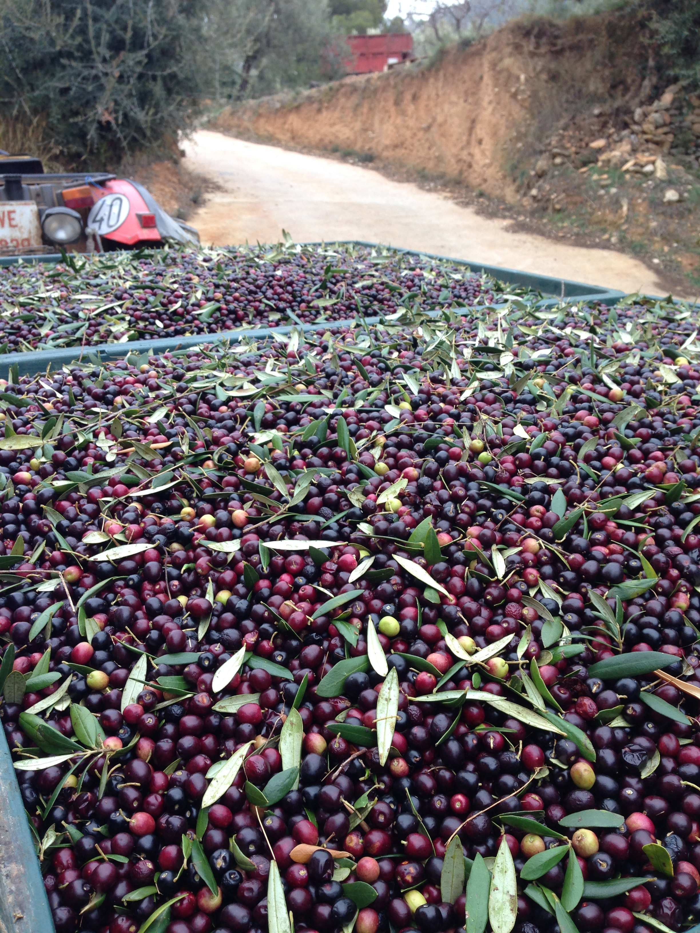 harvested olives